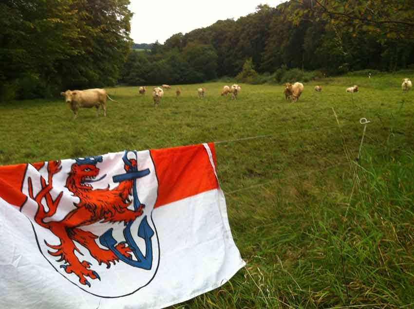 Für Fortuna nach Nürnberg - Von Fortunafahne beeindruckte Kühe